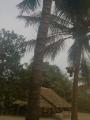 落下する椰子の実