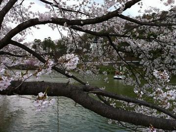20110411臥竜公園桜