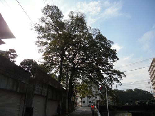 川沿いの木1