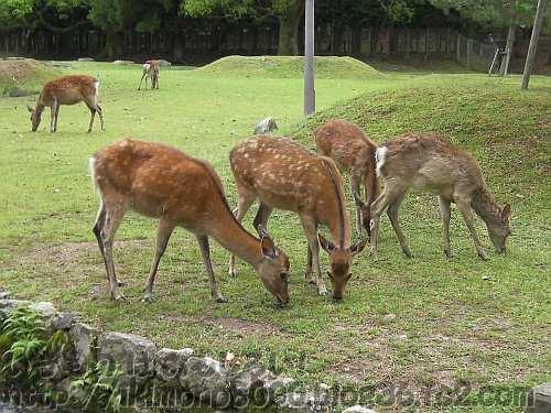 奈良公園の牝鹿