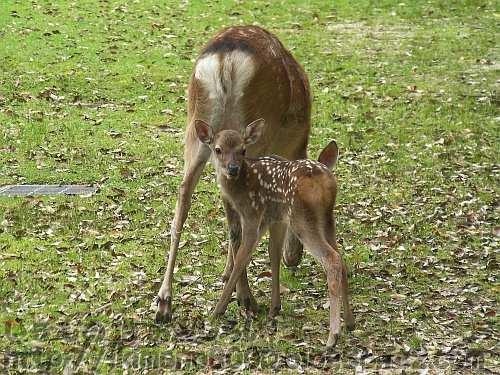 奈良公園の牝鹿と仔鹿