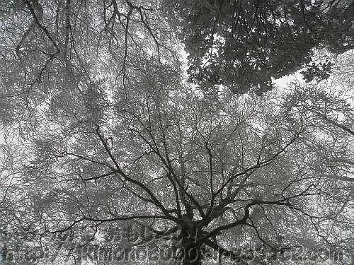 12月の霧氷に覆われた金剛山山頂北側斜面のブナの大木