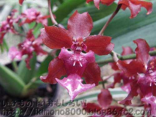 オンシディウム シャーリイ・ベイビー'スイート フレグランス'の花