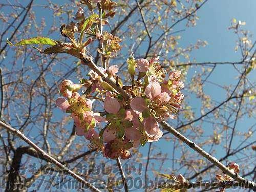 かろうじて咲いていたヒマラヤザクラ