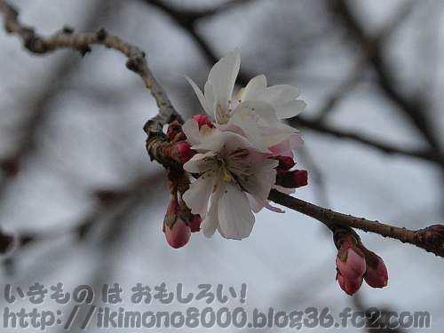 花がちょっとしか咲いていないジュウガツザクラ