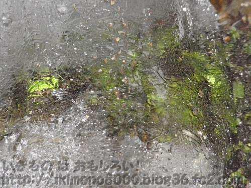 氷の下の植物