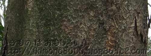樹皮がはがれた跡が波打つように見えるケヤキ
