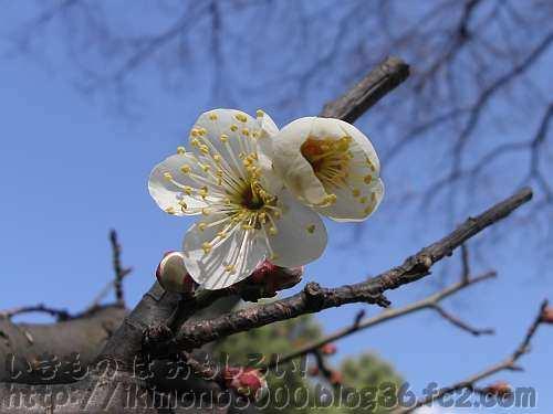 花もきれいな実梅の定番の南高