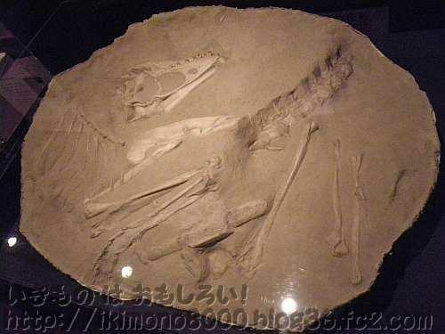 小タルボの産状レプリカ「発掘! モンゴル恐竜化石展」