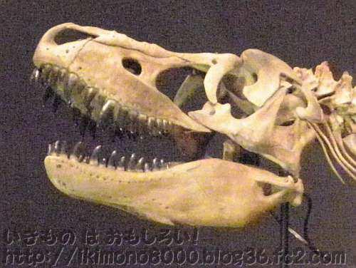 力強そうな大タルボの頭「発掘! モンゴル恐竜化石展」
