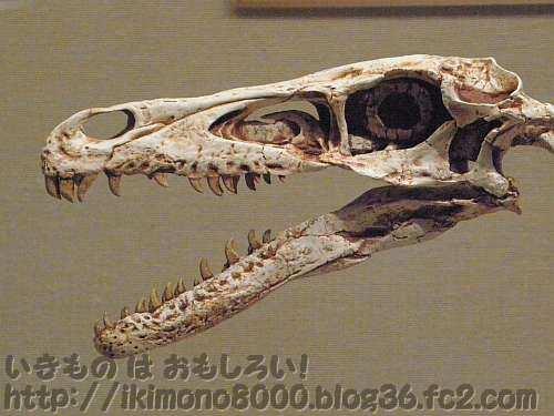 とんがったヴェロキラプトルの頭「発掘! モンゴル恐竜化石展」