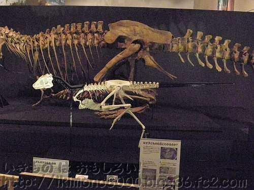 新登場の小タルボ復元骨格「発掘! モンゴル恐竜化石展」