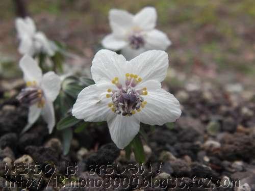 大接近したセツブンソウの花