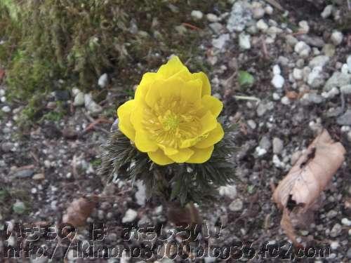 かろうじて開いているシェードガーデンのフクジュソウの花