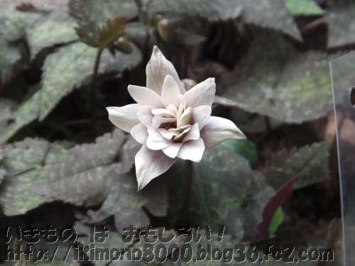 ユキワリイチゲの花