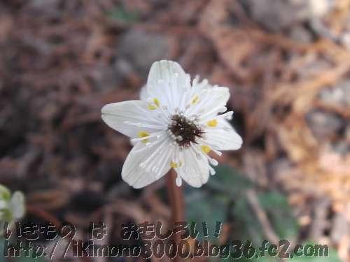 花が梅に似ているということでバイカオウレンで梅見の代わり?