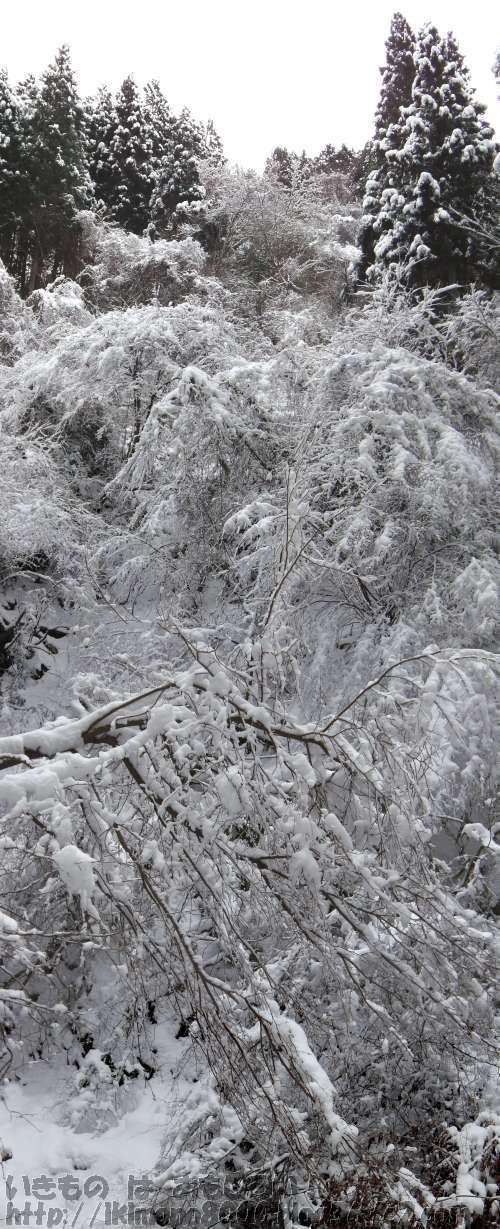金剛山のモミジ谷の雪の滝