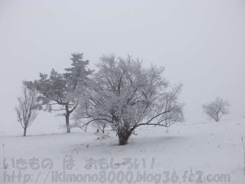 葛城山山頂付近の霧氷に覆われた木