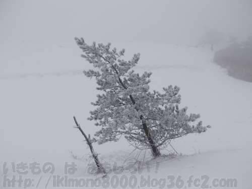 葛城山山頂付近の霧氷に覆われた傾いた杉