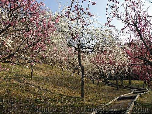 花の文化園の梅園の月影枝垂れ