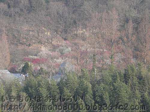 梅の花に覆われている花の文化園の梅園
