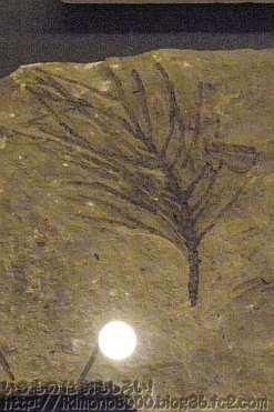 裸子植物の枝の化石