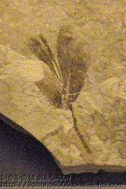 ソテツの仲間の葉の化石その2