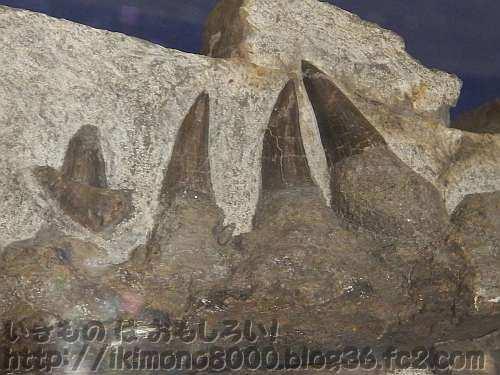 右下顎骨(前部)に残った鋭いモササウルスの歯