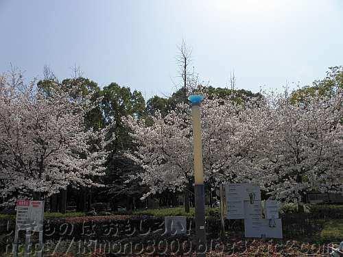 南西入口付近の多分ソメイヨシノ(染井吉野)