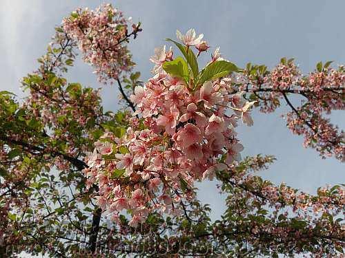 早咲きのカワヅザクラ(河津桜)
