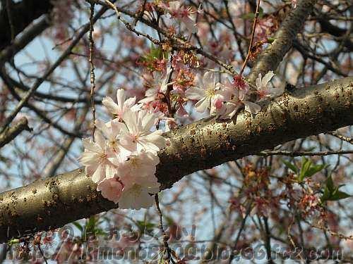 冬でも咲いてるジュウガツザクラ(十月桜)