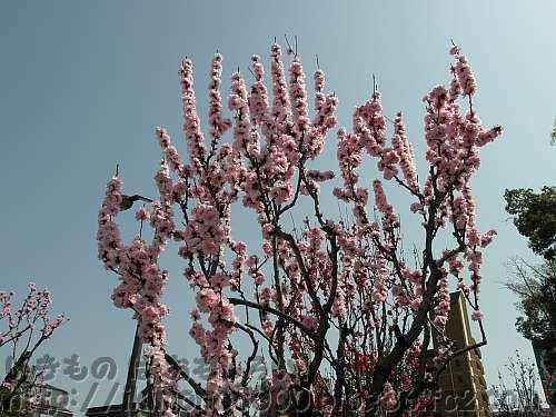 いつもならソメイヨシノより早咲きのホウキセイハナモモ(箒性花桃)