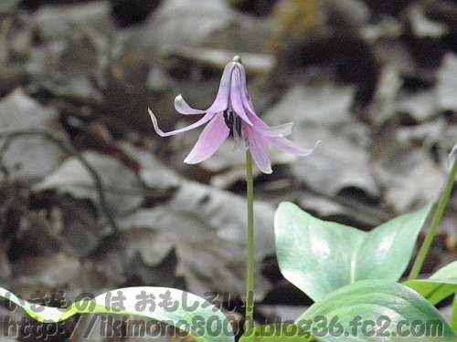 大阪市立大学理学部附属植物園のカタクリの花