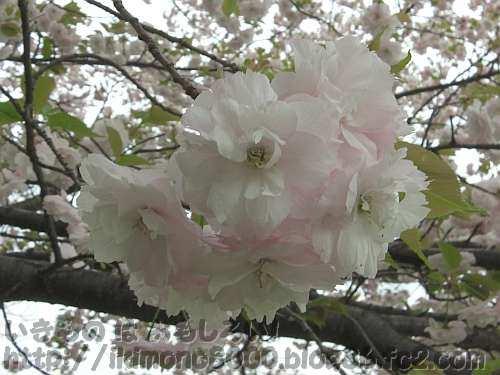 楊貴妃の花