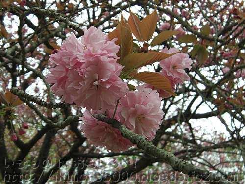 関山?の花