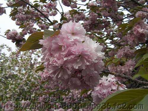 八重桜の定番で造幣局でも大定番の関山(かんざん)