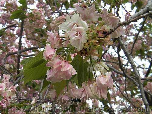 花の色が変わる鬱金(うこん)