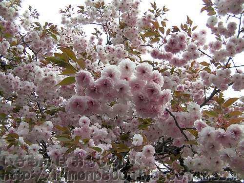八重の花が鈴生り普賢象(ふげんぞう)
