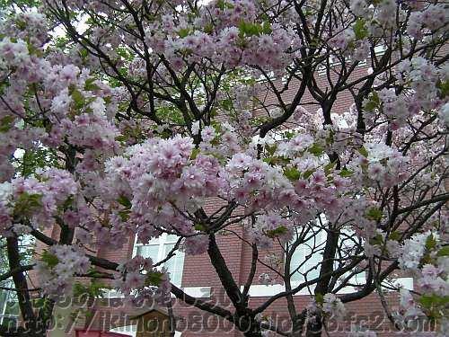 葉が少なくて小ぶりの八重が鈴生りの簪桜(かんざしざくら)