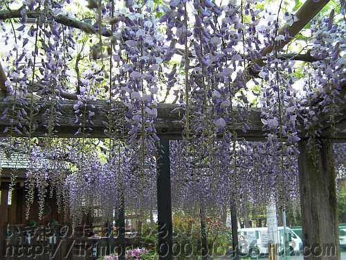 春日神社境内いっぱいの藤棚