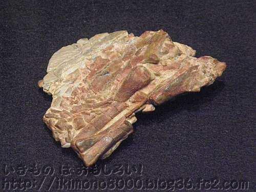 オブラプトルの仲間の胎児の骨も残っている卵の殻
