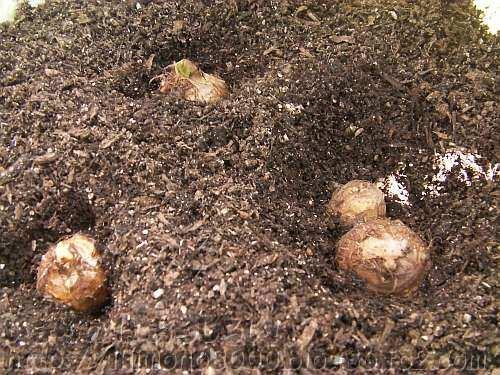 土をかける前の樽の種芋
