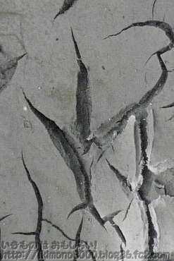 河原に残ったダイサギの足跡(凹型)