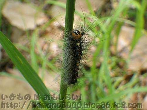 まだまだ小さいマイマイガの幼虫