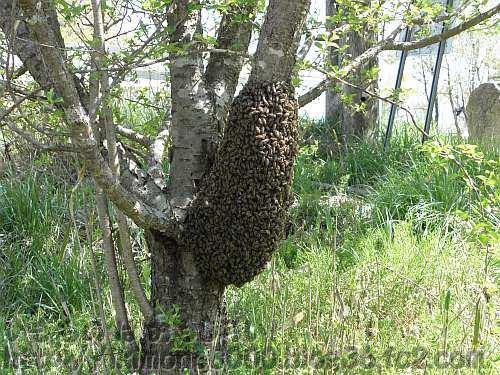 ハチでふくらんだ木