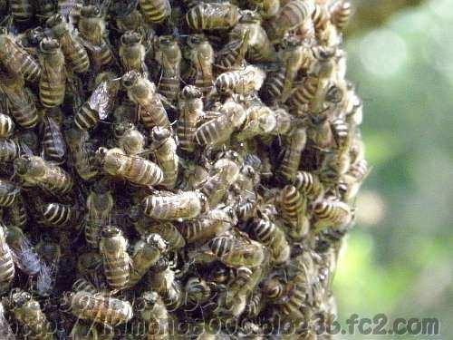 集まっているニホンミツバチ
