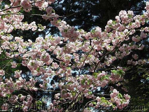 神社社務所の八重桜