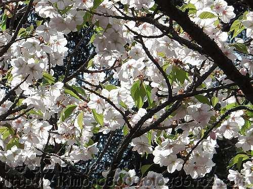 神社社務所の5枚花弁の桜