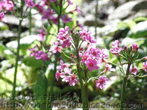 クリンソウの花