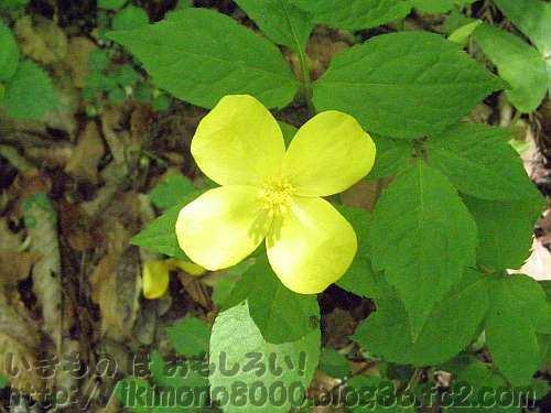 金剛山のヤマブキソウの花